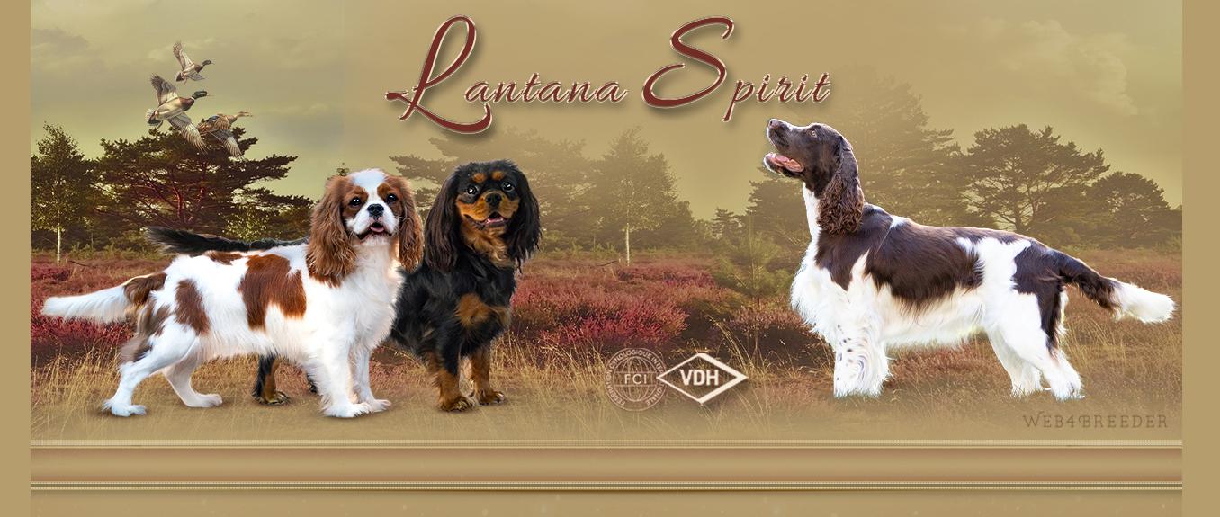 Lantana Spirit – Englisch Springer Spaniels & Cavalier King Charles Spaniel